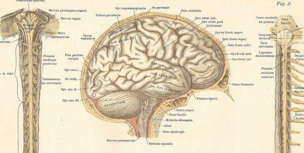Illustrerad bild av en hjärna